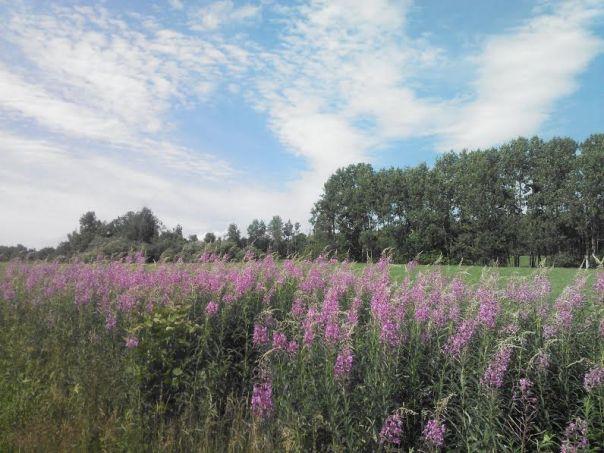 purple flower fenced field 1