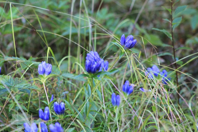 blue flowers out in the woods2 grouping.JPG