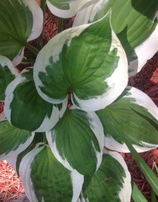 Lovely Hosta