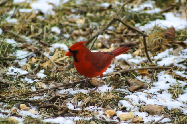 red cardinal from brian for book 5320 300320 resized large high quality